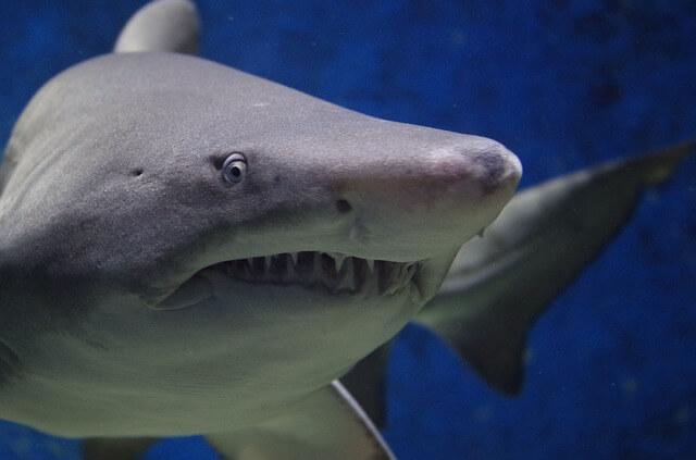 shark-674867_640 (1)